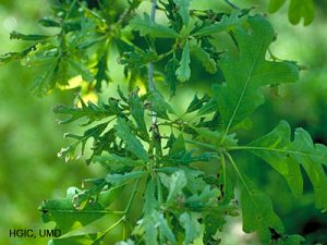 2,4-d_oak_leaves_l