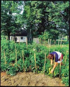 mulching staked pepper plants