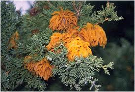 Cedar-apple rust on juniper