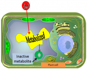 enhanced metabolism