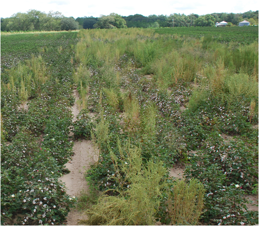 Glyphosate-resistant Palmer amaranth in crop