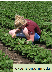 woman in field monitoring for aphids