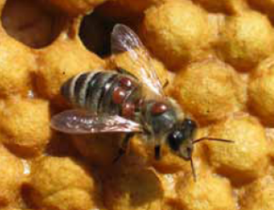 Varroa mites on honey bee (Bayer CropScience)