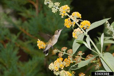 hummingbird on yellow flowers