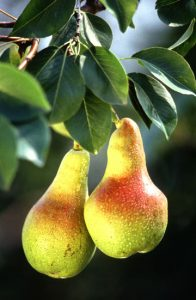 pears ripening on a tree