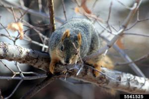 Fox Squirrel: