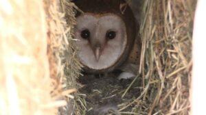 Barn owl in hay